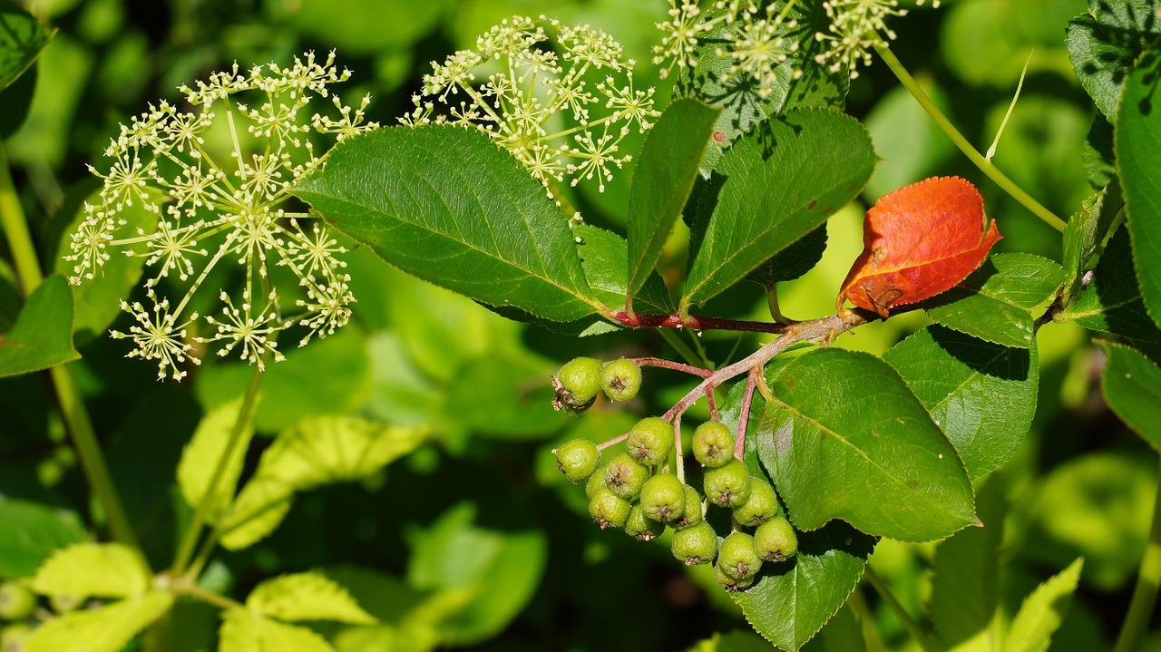 Foto: ett ensamt rött blad bland annan grönska.